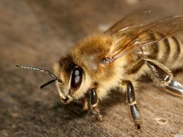 Bee Macro Animals Nature Insects Cute Hd hd wallpaper #1607046 1570