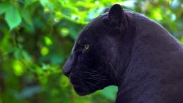 Description: The Wallpaper above is Jaguar black panther Wallpaper in 989