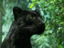Nature animals panthers black panther wallpaper | 2304x1728 | 12862 901