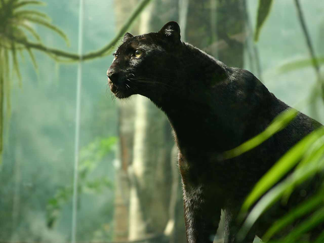 HD Wallpapers Pics: Black Panther HD Wallpapers 1910