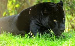 Black Panther HD Wallpapers, black panther, wild animal, wild black 1902