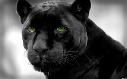 Panthers selective coloring black panther wallpaper | 1920x1200 144