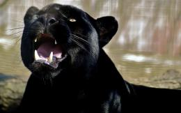 Wallpaper canines, roar, teeth, panther, predator, black panther 1127