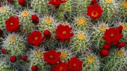 Cactus flower wallpaper computer freebeautiful desktop wallpapers 1670
