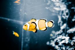 clown fish macro wallpaper by permutation customization wallpaper 1924