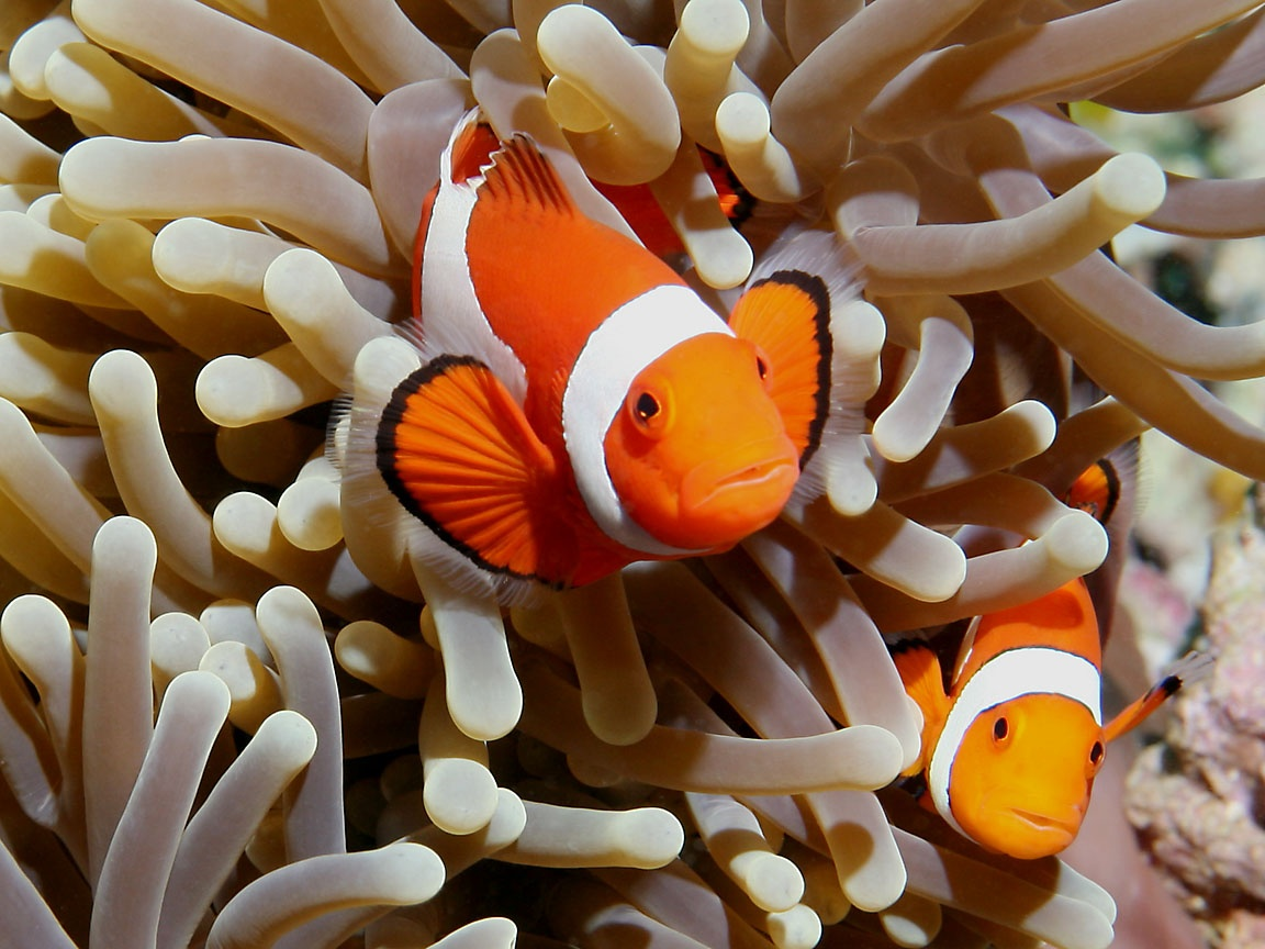 Anemonefish and Clownfish Wallpaper 432