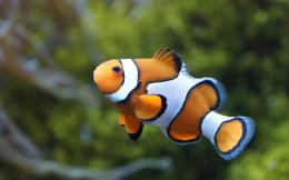 Clownfish or anemonefish 1406