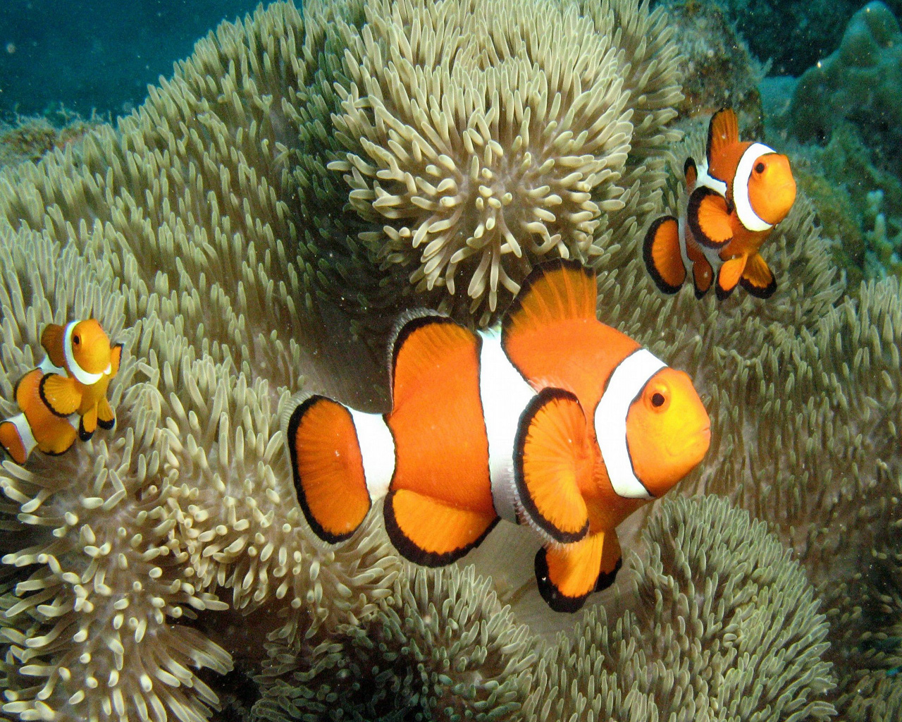 Clown Fish | Fun Animals Wiki, Videos, Pictures, Stories 1215