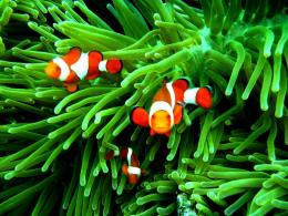 Clown Fish WallpapersWallpaper Cave 1787