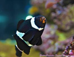clown fish or amphiprion clarkii the black clown is an anemone fish 1231