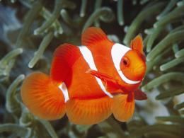Download Fish Wallpapers wallpaper, \'clown fish\' 1856