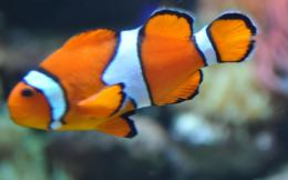 clown fish fishes nemo finding cartoon animal 488