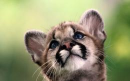 Cougar baby Wallpapers Pictures Photos Images 1655