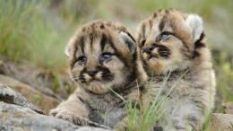 Wallpaper cougar, puma, baby desktop wallpaper » Animals » GoodWP 681