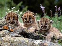 Baby Cougars 953