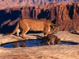 WallpapersAnimalsMOTHER COUGAR WITH BABY COUGARS DRINKING 974