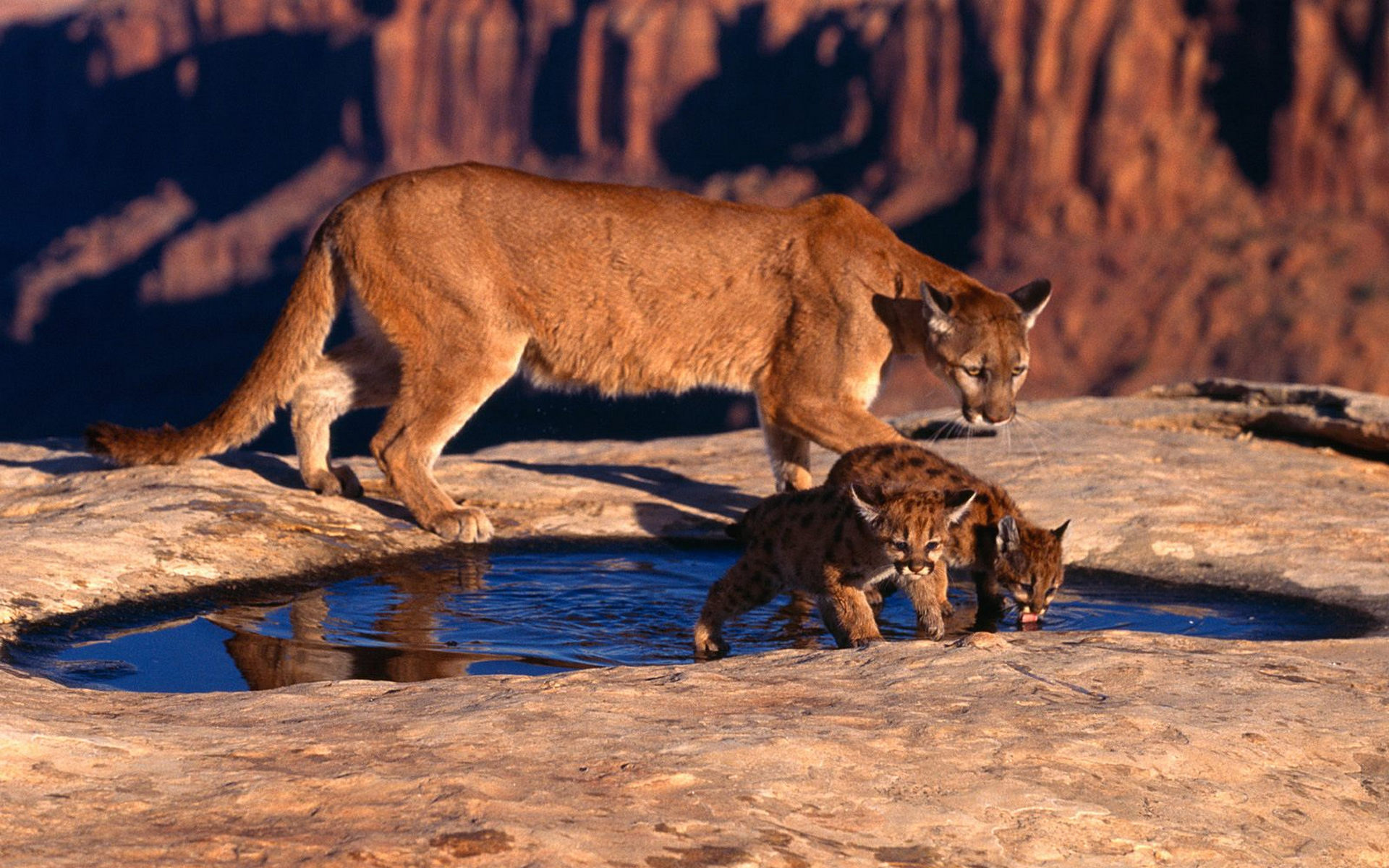 Cougar With Babies Wallpaper 1769