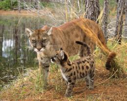 Animals Cougars Wallpaper 1280x1024 Animals, Cougars, Baby, Animals 956