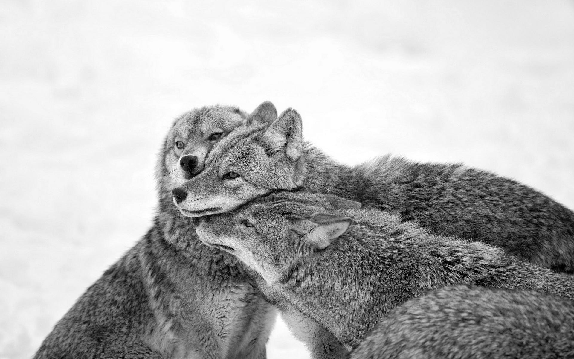 Coyote Wolves Pack Care Winter Snow wallpaper #96073 1271