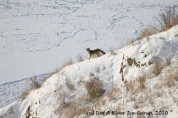 Coyote by the North Saskatchewan River in Edmonton, ABCanada 1381