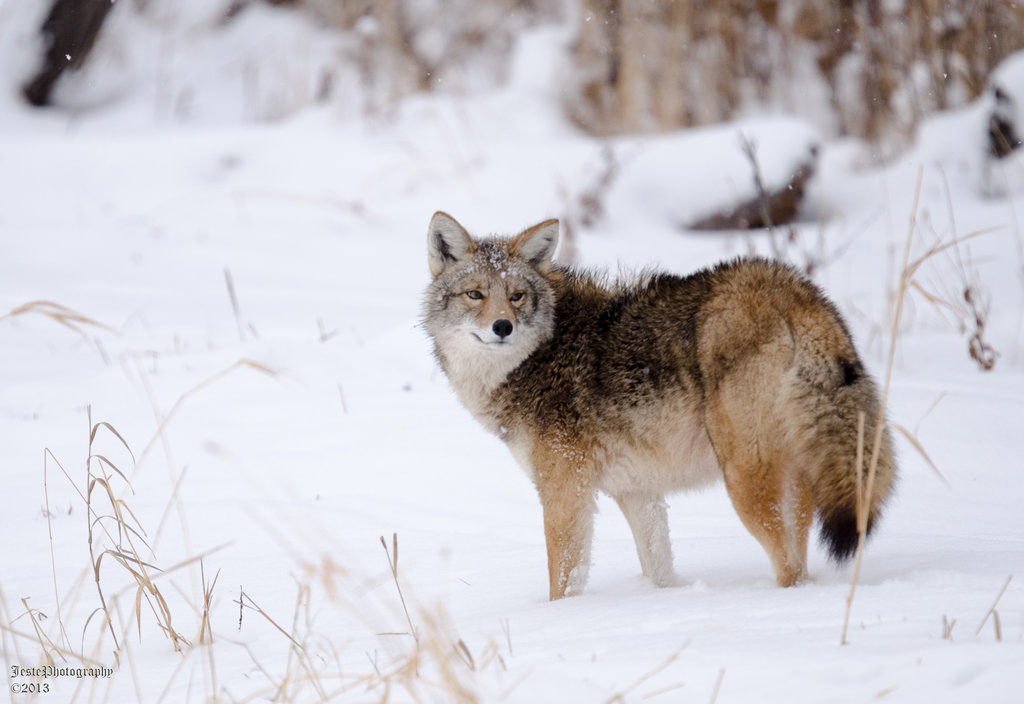 Coyote In Snow by JestePhotography on DeviantArt 418