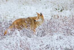 Coyote In Snow II by kkart on DeviantArt 660