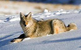 Coyote in the snow Widescreen Wallpaper#4858 1647