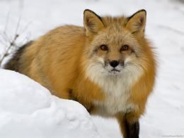 Snow Winter Snow Coyote wallpapers00014 jpg 831