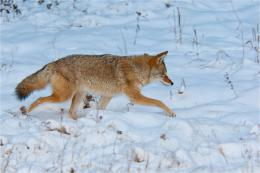 Coyotes In Snow Hd Images & PicturesBecuo 350