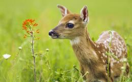 download baby deer wallpaper tags flower fawn deer baby animals added 788
