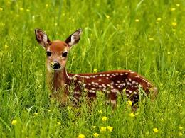 Best And Cute Deer Pictures | 25dip 255