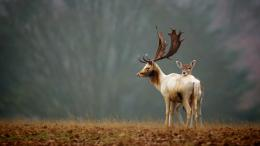 deer and its child wallpaper 1920x1080 54f29676a1c3f jpg 1331