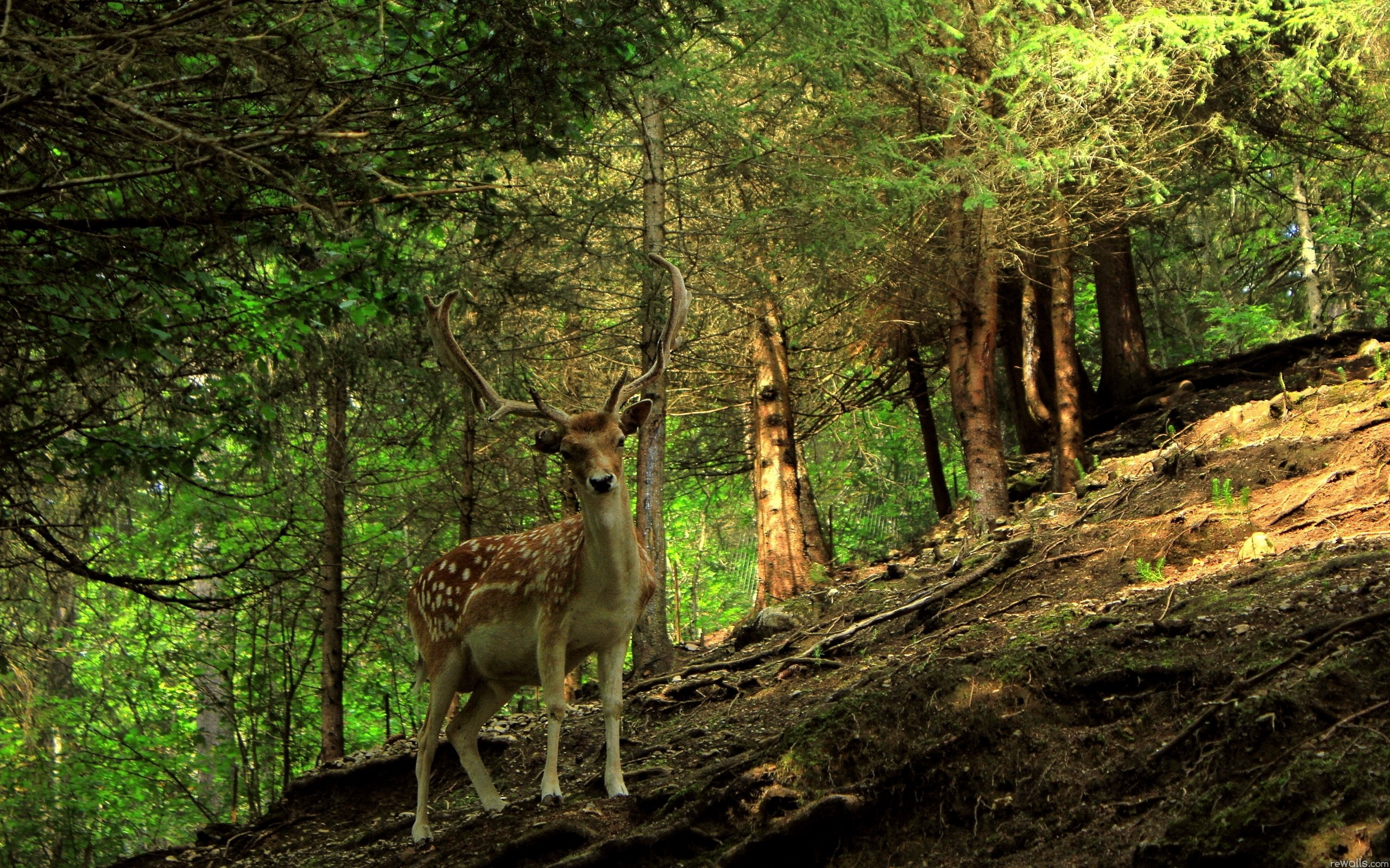 Forest animals deer wallpaper | 2560x1600 | 62540 | WallpaperUP 611