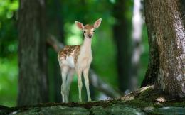 deer in the forest wallpaper tags forest fawn animals babies deer 384
