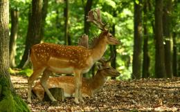 Beautiful Wallpapers: deer wallpaper 1936