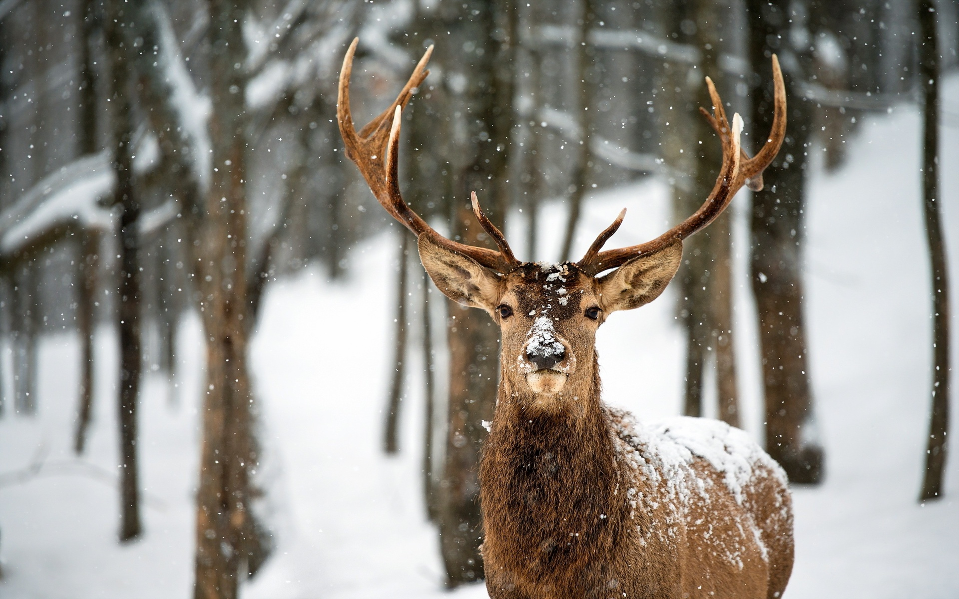 Deer in the snow hd nature wildlife forest HD Wallpaper 1686