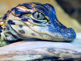 My Free WallpapersNature Wallpaper : Crocodile Eye 1338