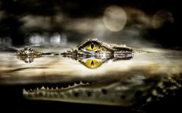 Download Crocodile in the water wallpaper 1852