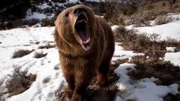 Download Angry Grizzly Bear Wallpaper Tags Grizzly Snow Angry Bear 998
