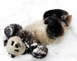 Cute Baby Panda Playing With Snow Hd Wallpaper | Wallpaper List 984