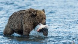 Download Grizzly hunting on river wallpaper in Animals wallpapers with 702