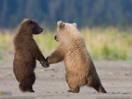 Grizzly Bear Cubs 721