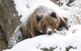 Wallpaper of Grizzly bear in the snow | HD Animals Wallpapers 570