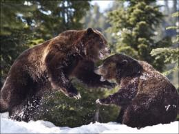 Grizzly Bears Playing In Snow On Grouse Mountain Pictures 1745