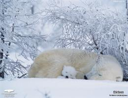 Polar Bear Desktop Wallpaper Playing In The Snow1024x786 pixel 641