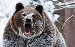snow grizzly bears cocaine bears 1280x1024 wallpaper Wallpaper –Free 1323