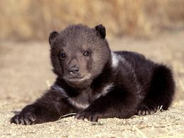 kB · jpeg, Download Grizzly Bears wallpaper, \'Grizzly Bear Cub 1 373