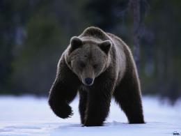 Wallpaper snow, winter, bear, Grizzly on snow 1642