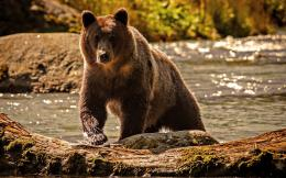 Grizzly Bear Wallpaper Grizzly bear wallpaper 122