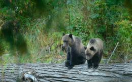 Grizzly bear cubs bears timber wood wallpaper | 2048x1280 | 162791 584